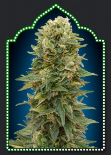 AUTO AFGHAN MASS (5) 100 00 SEEDS