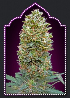 AUTO BUBBLE GUM (5) 100  00 SEEDS