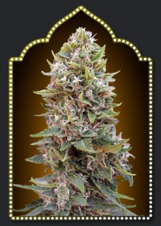 AUTO CHEESE BERRY (5) 100 00 SEEDS