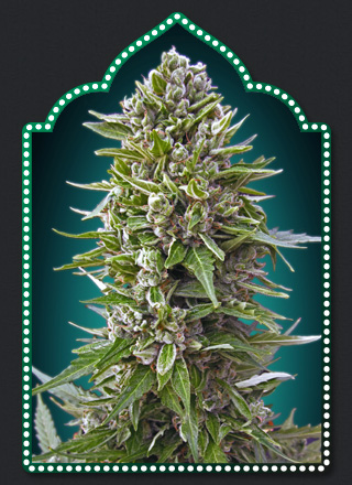 AUTO NORTHERN LIGHTS (5) 100 00 SEEDS