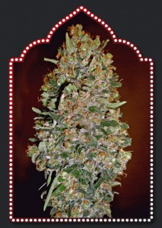 AUTOFLORACION COLLECTION 1 00 SEEDS