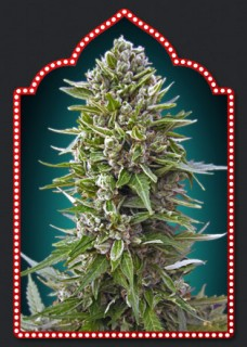 AUTOFLORACION COLLECTION 2 00 SEEDS