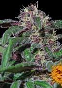 large_ayahuasca-purple_1_580562
